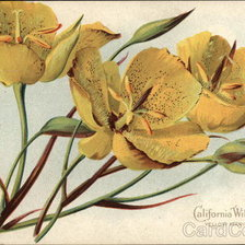 Схема вышивки «California Wild Flowers - Yellow Mariposa Lily»